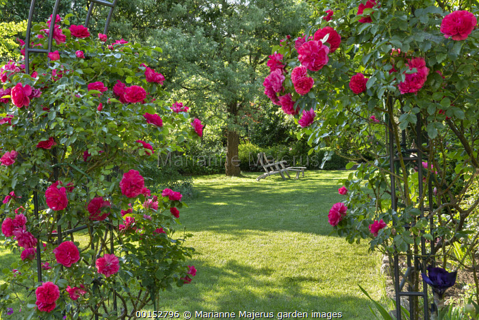 Rosa 'Aline Mayrisch' climbing on archway, view to wooden recliner chairs on lawn under tree
