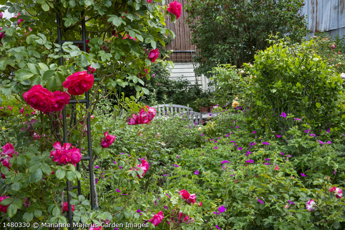 Rosa 'Aline Mayrisch' climbing on archway, Geranium psilostemon, table and chairs