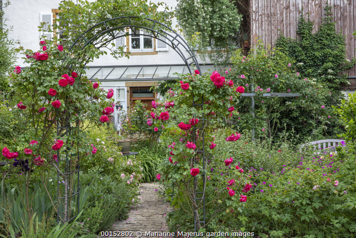 Rosa 'Kiftsgate' climbing on house, Rosa 'Aline Mayrisch' climbing on archway
