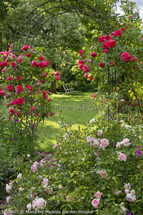 Rosa 'Aline Mayrisch' climbing on archway, Rosa 'Rousefrënn', view to wooden chairs on lawn under tree