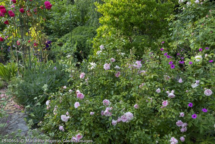 Rosa 'Rousefrënn' by path, Geranium psilostemon