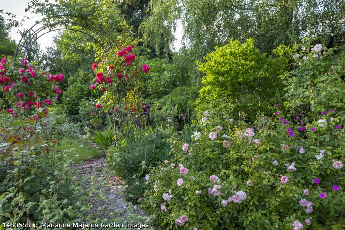 Rosa 'Rousefrënn' by path, Geranium psilostemon, Rosa 'Aline Mayrisch' climbing on archway