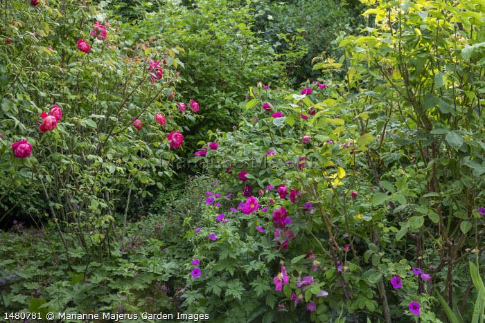 Rosa 'Brother Cadfael', Rosa gallica var. officinalis and Rosa 'de Rescht'