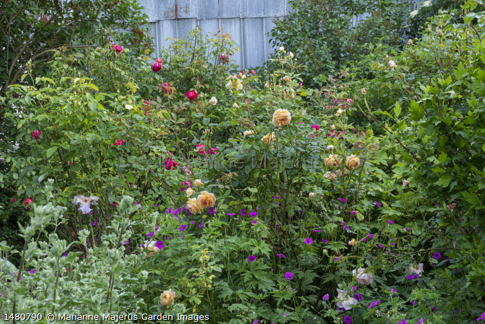 Rosa 'Sophy's Rose', 'Bredon' and 'Brother Cadfael'