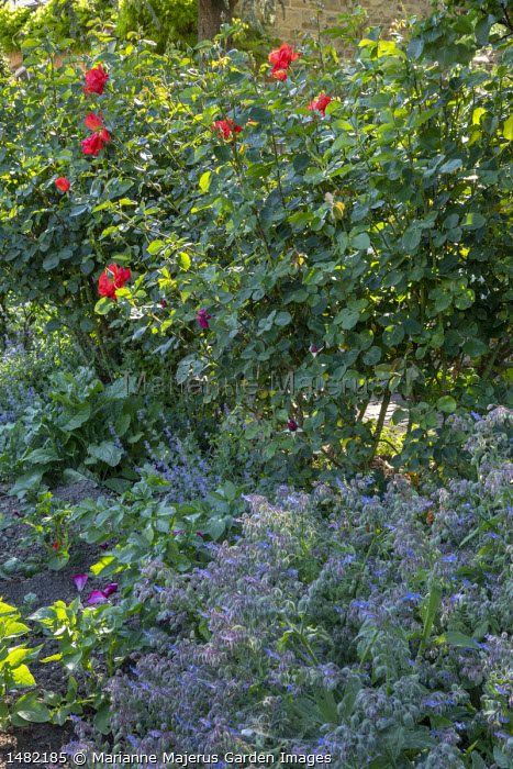Borage and roses