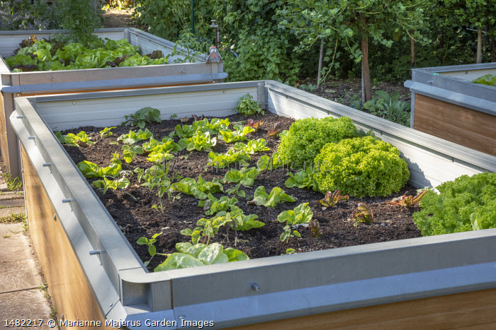 Lettuces in raised bed, cold frame, plant protection