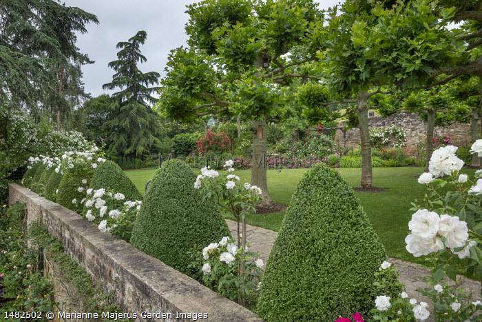 Rosa 'Edelweiss' and standard Rosa 'Iceberg' syn. Rosa 'Schneewittchen' between box cones, stone wall, pollarded Platanus orientalis