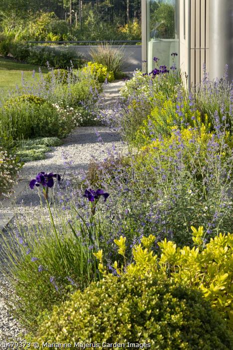 Gravel path, Iris sibirica 'Shirley Pope', Nepeta racemosa 'Walker's Low', Erigeron karvinskianus, euphorbia