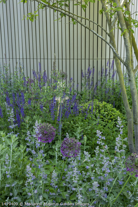 Allium hollandicum 'Purple Sensation', Nepeta racemosa 'Walker's Low', Salvia x sylvestris 'Mainacht'
