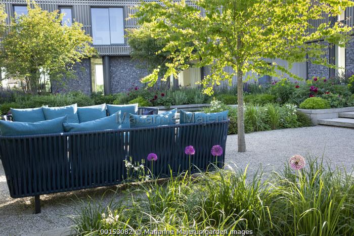 Cercidiphyllum japonicum, contemporary sofas on gravel terrace, Allium hollandicum 'Purple Sensation'
