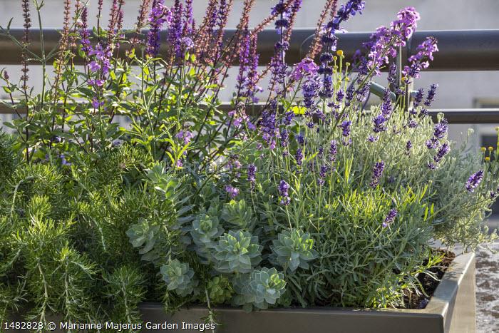 Euphorbia myrsinites, Rosmarinus officinalis Prostratus group, Salvia nemorosa 'Caradonna', Lavandula angustifolia 'Hidcote' in raised bed