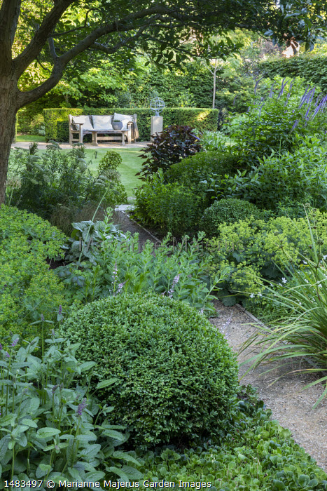 Gravel path through shady border, clipped Buxus sempervirens domes, Alchemilla mollis, Sedum 'Green Expectations', view to wooden bench in yew hedge enclosure