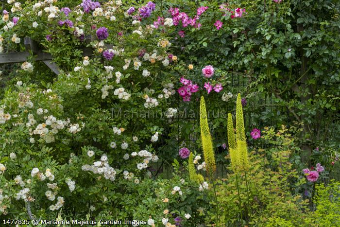 Rosa 'Ghislaine de Féligonde' (Turbat), Rosa 'Tour de Malakoff' (Soupert & Notting, 1856), Rosa 'Roville' (André Eve), Rosa 'Camelot' (Tantau), Eremurus stenophyllus