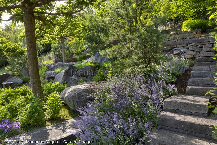 Nepeta racemosa 'Walker's Low' in sloping rock garden, Pinus sylvestris