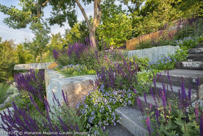 Sloping rock garden, Salvia nemorosa 'Ostfriesland', Amsonia tabernaemontana 'Blue Ice'