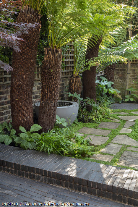 Dicksonia antarctica underplanted with ferns, Rodgersia podophylla, pond in large container, Soleirolia soleirolii in stone paving cracks