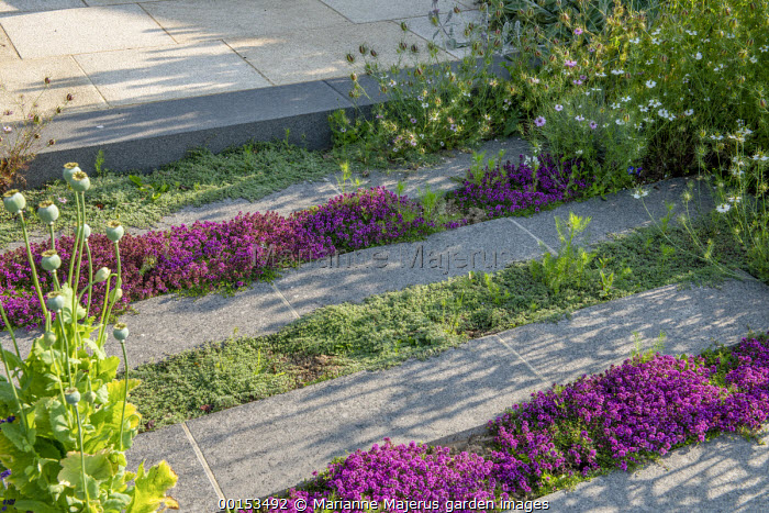 Thymus vulgaris growing in paving cracks, Nigella damascena