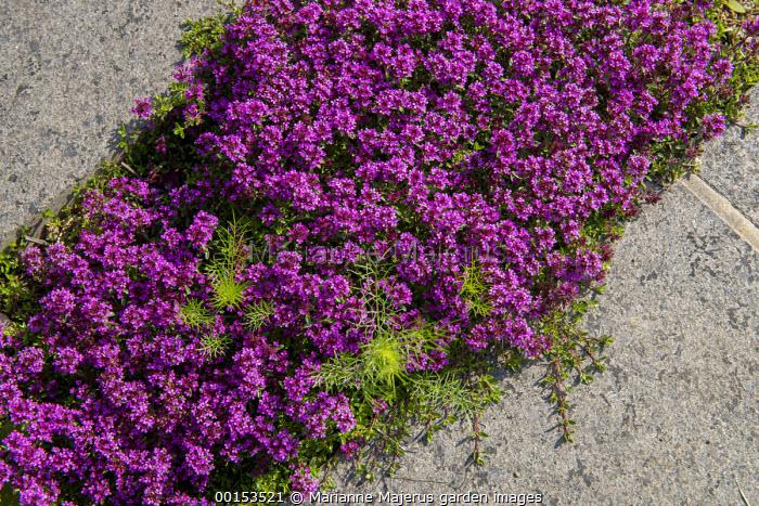 Thymus vulgaris in paving crack