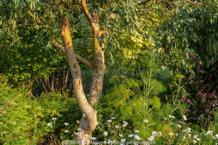Foeniculum vulgare, Leucanthemum vulgare, Sorbaria sorbifolia 'Sem' and phormium under eucalyptus