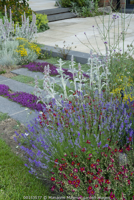 Thyme in stone paving cracks, Stachys byzantina, lavender, helianthemum