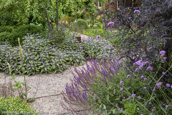 Gravel steps through border, Sambucus nigra f. porphyrophylla 'Black Lace' syn. Eva', Verbena bonariensis, Salvia nemorosa 'Caradonna', Salvia officinalis 'Purpurascens', Malus 'Evereste'