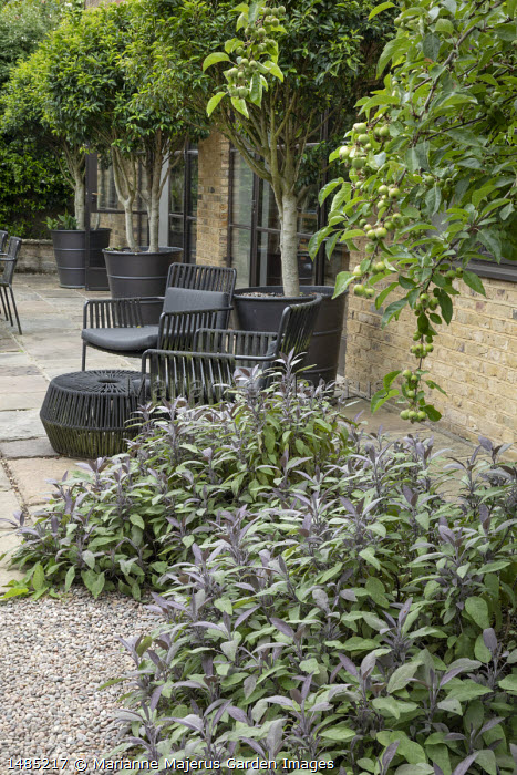 Salvia officinalis 'Purpurascens' in gravel bed by stone patio, black furniture and pots