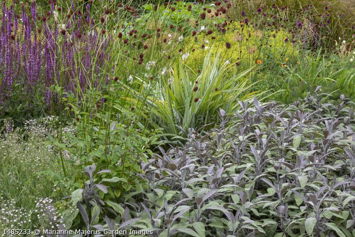 Salvia officinalis 'Purpurascens', Salvia x sylvestris 'Dear Anja', Gypsophila 'Rosenschleier', Sanguisorba officinalis 'Morning Select', Astelia chathamica, Alchemilla mollis