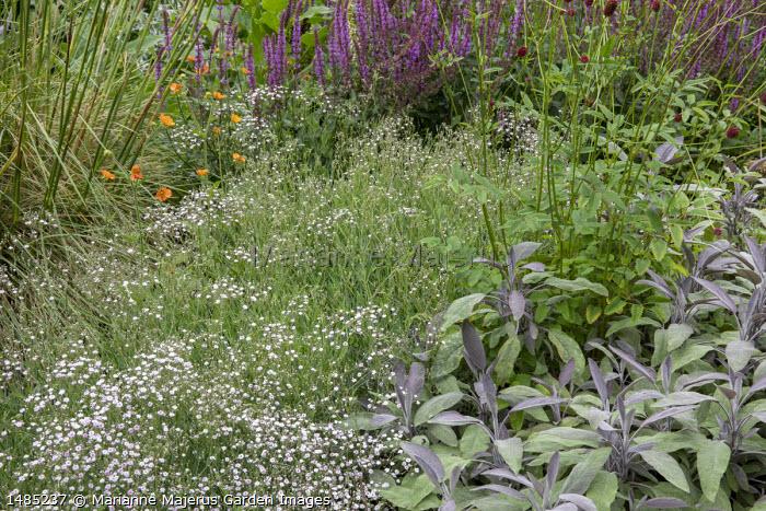 Salvia officinalis 'Purpurascens', Salvia x sylvestris 'Dear Anja', Gypsophila 'Rosenschleier', Sanguisorba officinalis 'Morning Select'