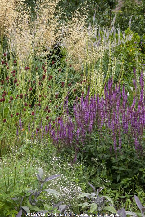 Salvia x sylvestris 'Dear Anja', Gypsophila 'Rosenschleier', Sanguisorba officinalis 'Morning Select', Stipa gigantea, Verbascum chaixii 'Album', Purple sage, Veronicastrum virginicum 'Lavendelturm'