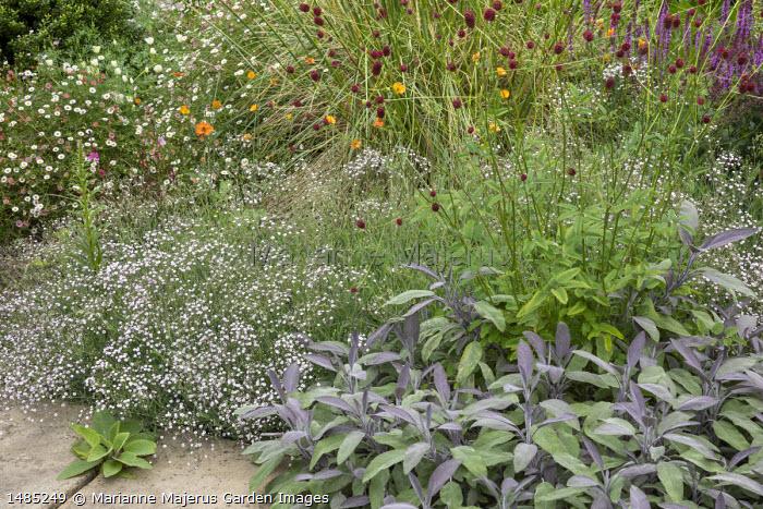Gypsophila 'Rosenschleier', Sanguisorba officinalis 'Morning Select', Salvia officinalis 'Purpurascens', Erigeron karvinskianus, geum