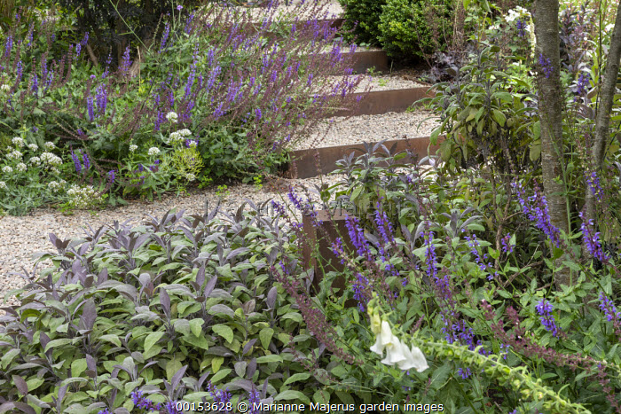 Salvia officinalis 'Purpurascens', Salvia nemorosa 'Caradonna', gravel steps with Cor-Ten steel edging