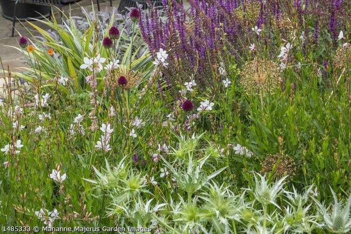 Allium sphaerocephalon, Eryngium giganteum, allium seedheads, Salvia x sylvestris 'Dear Anja', Oenothera lindheimeri syn. Gaura lindheimeri, Astelia chathamica