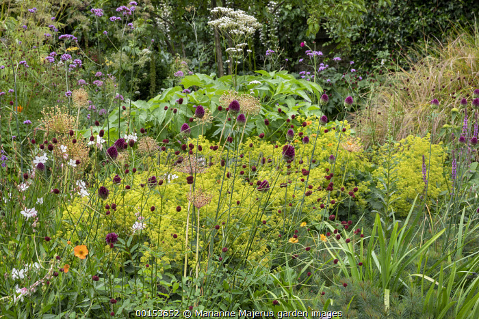 Allium sphaerocephalon, Sanguisorba officinalis 'Morning Select', Alchemilla mollis, Oenothera lindheimeri syn. Gaura lindheimeri, allium seedheads, Verbena bonariensis