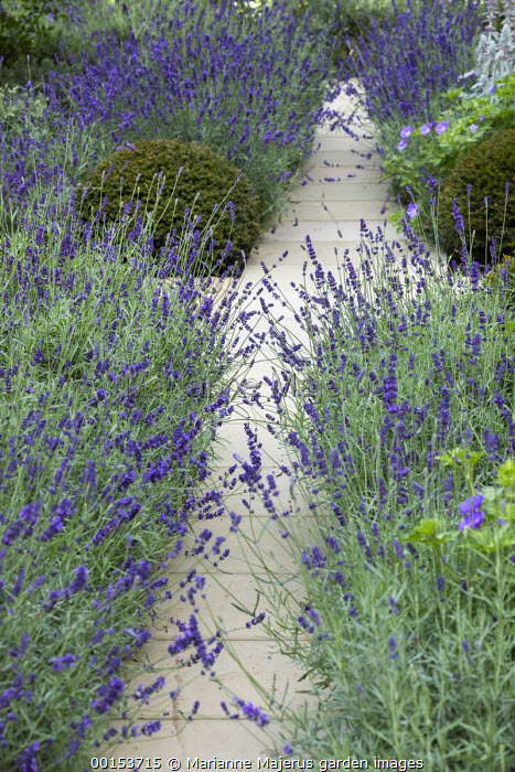 Lavandula angustifolia 'Imperial Gem' edging stone path in front garden, Taxus baccata domes