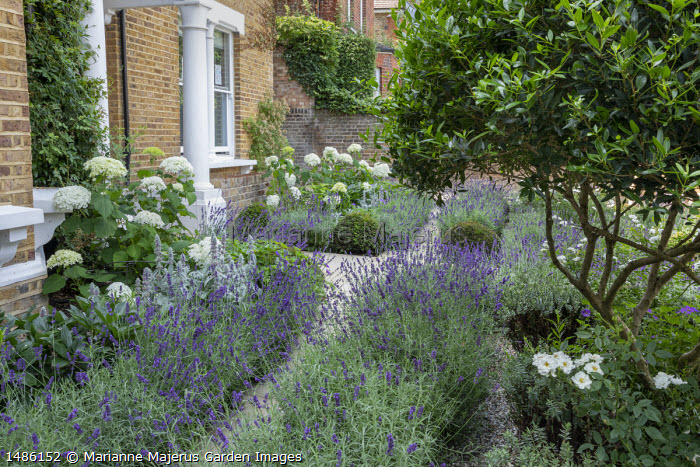Lavandula angustifolia 'Imperial Gem' edging stone path in front garden, Hydrangea arborescens 'Annabelle,  Stachys byzantina, Taxus baccata domes, multi-stemmed Phillyrea angustifolia, Rosa 'Kent'