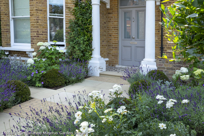 Lavandula angustifolia 'Imperial Gem' edging stone path in front garden, Hydrangea arborescens 'Annabelle,  Rosa 'Kent', Taxus baccata domes