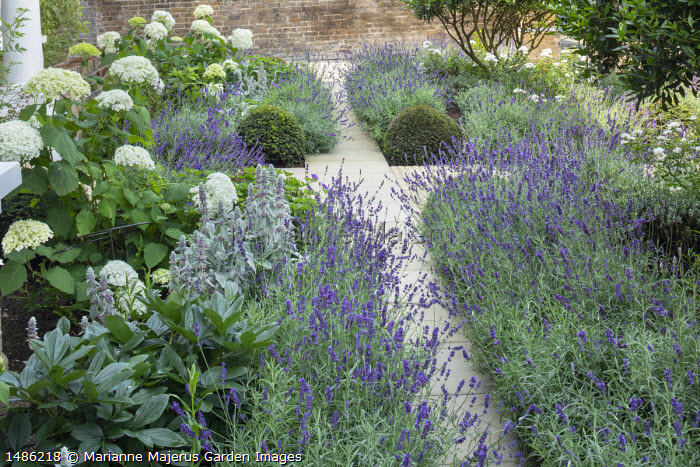 Lavandula angustifolia 'Imperial Gem' edging stone path in front garden, Hydrangea arborescens 'Annabelle,  Stachys byzantina, Taxus baccata domes