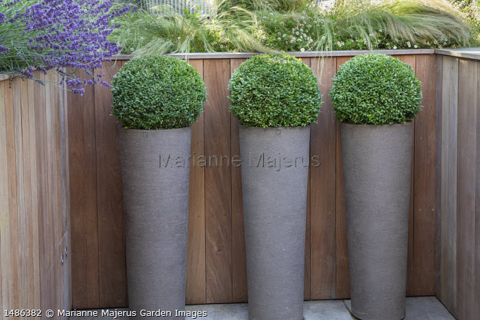 Clipped box balls in tall pots, Stipa tenuissima, Erigeron karvinskianus and lavender in timber raised bed