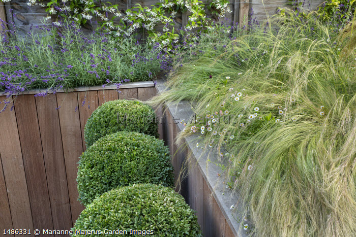 Stipa tenuissima, Erigeron karvinskianus and lavender in timber raised bed, clipped box ball in pots, Trachelospermum jasminoides