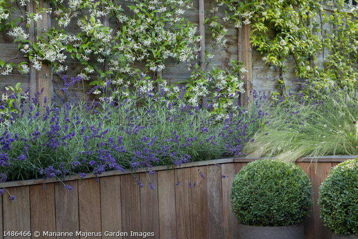 Stipa tenuissima, Erigeron karvinskianus and lavender in timber raised bed, clipped box balls in tall pots, Trachelospermum jasminoides climbing on fence