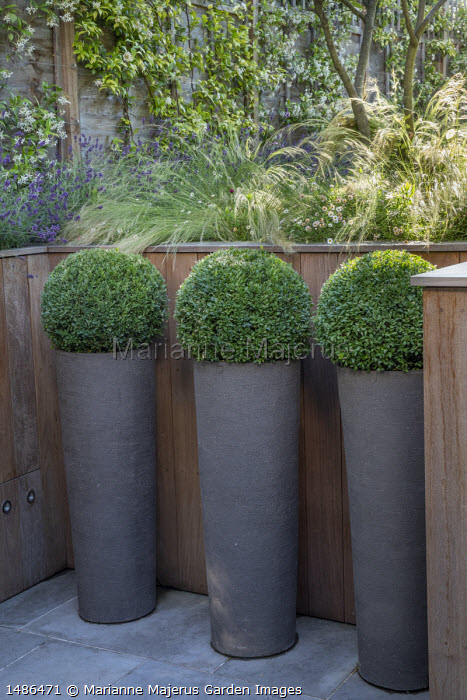 Clipped box balls in tall pots, Stipa tenuissima, Erigeron karvinskianus and lavender in timber raised bed, Trachelospermum jasminoides