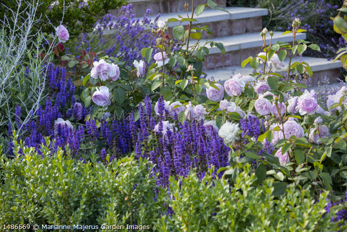 Salvia nemorosa 'Caradonna', Lavandula angustifolia 'Munstead' and Rosa 'Olivia Rose Austin' by steps