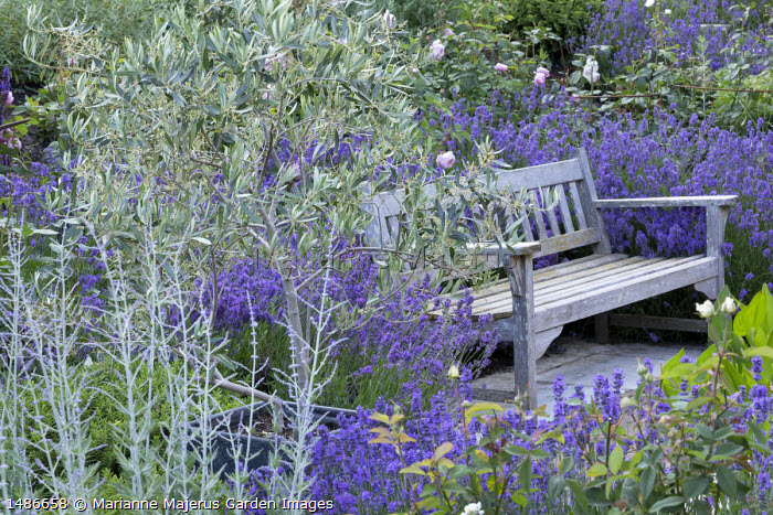 Wooden bench surrounded by Lavandula angustifolia 'Munstead' on stone patio, olive tree, Perovskia 'Blue Spire', Rosa 'The Alnwick Rose'