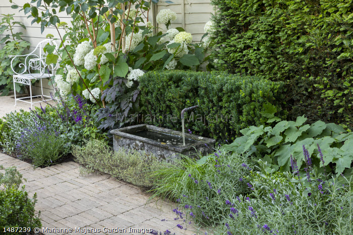 Stone trough with fountain, yew hedge, lavender, Hydrangea arborescens 'Annabelle' under betula, Salvia 'Amistad'