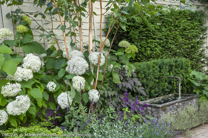 Hydrangea arborescens 'Annabelle' under betula, Salvia 'Amistad', fountain in stone trough, clipped yew hedges