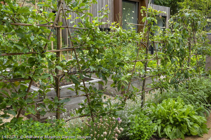 Trained apple espalier screen underplanted with herbs, chives, lavender, mint, sage