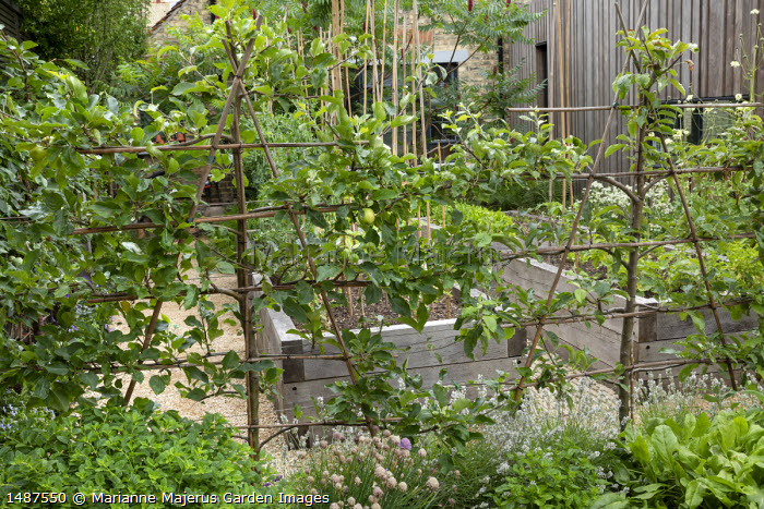 Trained apple espalier screen underplanted with herbs, chives, mint, lavender