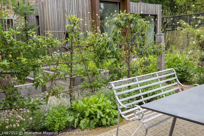 Trained apple espalier screen underplanted with herbs, sage, mint, chives, lavender, metal bench and table on patio