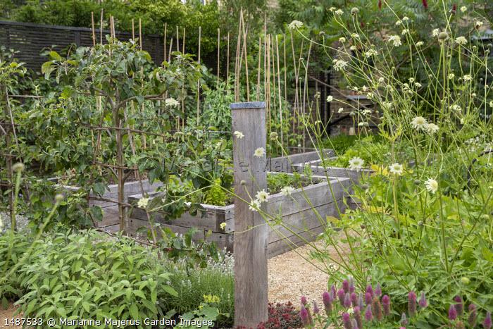 Cephalaria gigantea, trained apple espalier screen, sage, raised wooden beds in kitchen garden