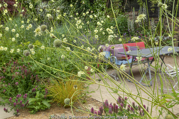 Cephalaria gigantea, trifolium, table and bench with cushion on terrace, Anemanthele lessoniana